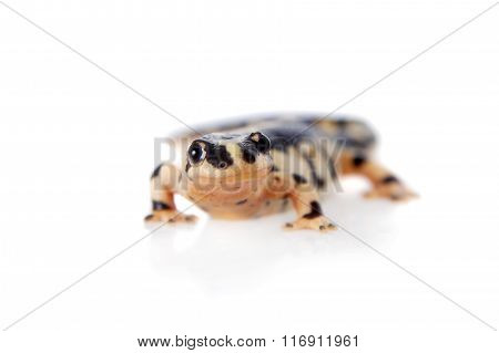 Kaiser's spotted newt isolated on white