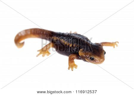 Himalayan newt isolated on white
