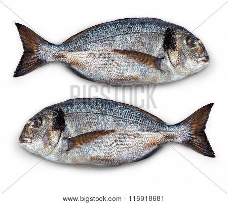 Isolated fish dorado. Isolated on white background