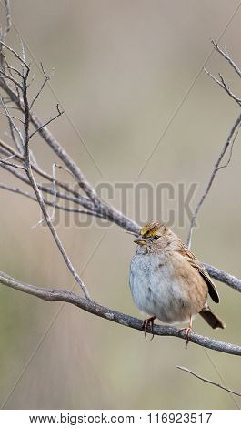 Golden-crowned Sparrow, Zonotrichia atricapilla