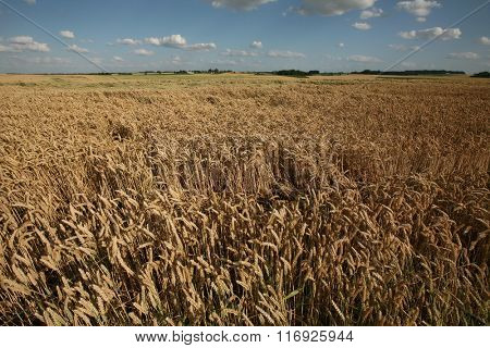 Wheat fields covering the battlefield of the Battle of Waterloo (1815) near Brussels, Belgium.