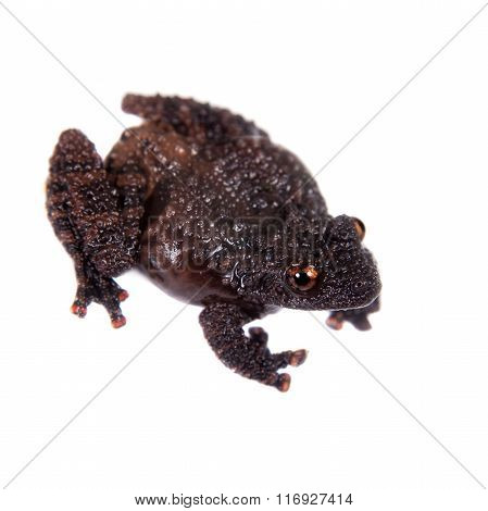 Dreadful mossy frog, Theloderma horridum, on white