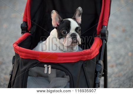 Portrait Of Adorable French Bulldog On Stroller