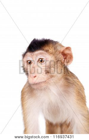 Juvenile Pig-tailed Macaque, Macaca nemestrina, on white