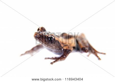 Theloderma trongsinense, rare spieces of frog on white
