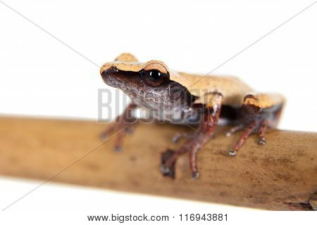 White-back mossy frog, Theloderma laevis, on white