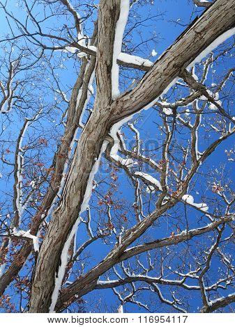 Tree Branches with Snow on a Sunny Day
