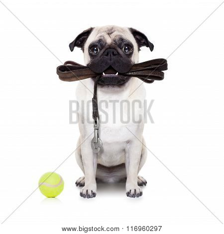 pug dog with leather leash ready for a walk with owner isolated on white background poster