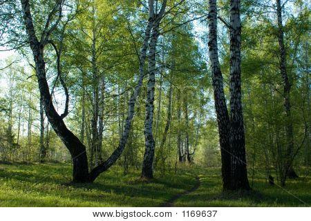 Birchwood In Spring