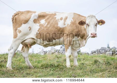 Huge Cow Standing And Looking At Camera