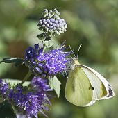 Butterfly Large white in summer on Caryopteris clandonensis poster