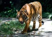 nature scenery - tiger walking with hungry face poster