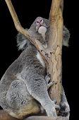 Funny Sleeping Koala Bear - Isolated on Black Background poster