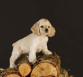 cocker spaniel puppy standing on pile of wood poster