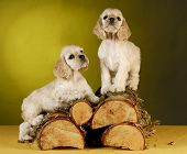 two cocker spaniel puppies climbing a pile of wood on yellow background poster