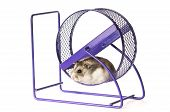 Hamster wheel to run in on white background poster