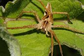 Nursery web spider (Pisaura mirabilis) on a leaf poster