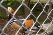 beautiful drake Mandarin Duck in an aviary in a zoo poster