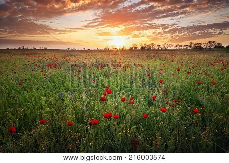 Spring meadow with blossom poppy flowers. Nature landscape composition