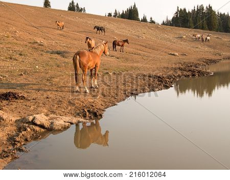 Red Bay Dun Stallion reflecting in the water near a herd of wild horses at waterhole in the Pryor Mountains Wild Horse Range in Montana United States