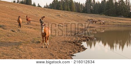 Bay Stallion glowing in the morning sun with herd of wild horses at waterhole in the Pryor Mountains Wild Horse Range in Montana United States