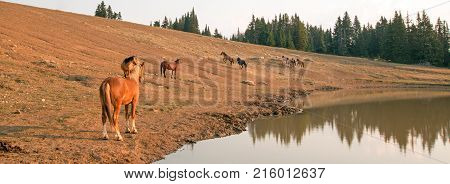 Herd of feral mustang wild horses at waterhole in the Pryor Mountains Wild Horse Range in Montana United States