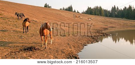 Red Bay Stallion in the early morning with herd of wild horses at waterhole in the Pryor Mountains Wild Horse Range in Montana United States