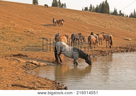 Gray Blue Roan Stallion drinking at waterhole with herd of wild horses in the Pryor Mountains Wild Horse Range in Montana United States