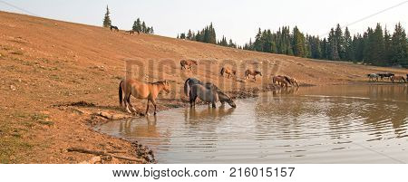 Thirsty herd of wild horses at waterhole in the Pryor Mountains Wild Horse Range in Montana United States