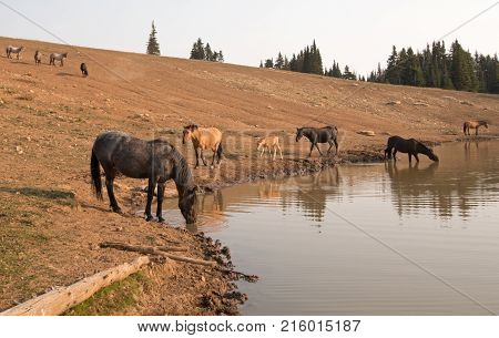 Herd of wild horses drinking at waterhole in the Pryor Mountains Wild Horse Range in Montana Unted States