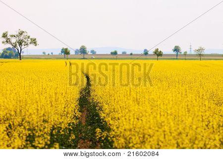 Yellow Oilseed