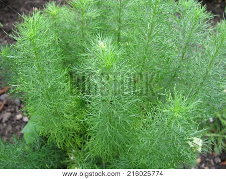 Green adonis vernalis plant in a garden