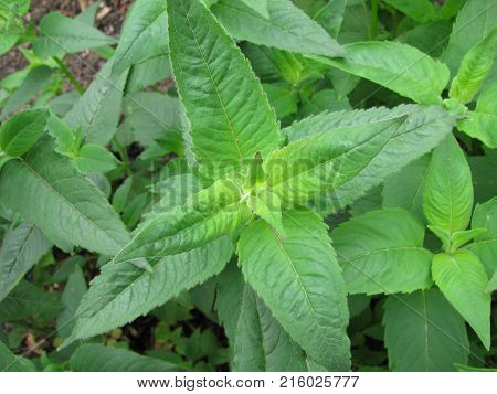 Leaves from monarda didyma plant in a garden
