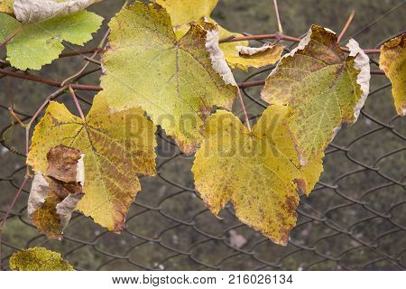 Photo of grape leaves background autumn after harvest season. autumnal grapes branch