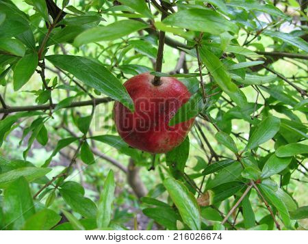 Fresh punica granatum fruit in a garden