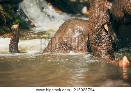 Two Asian Elephants playing in the river. Tropical rainforest in Chiang Mai Province Thailand.