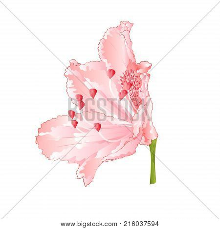Rhododendron flower Light pink vintage vector illustration editable hand draw
