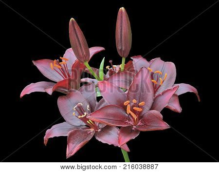 A close up of the flowers dark-red lily. Isolated on black.