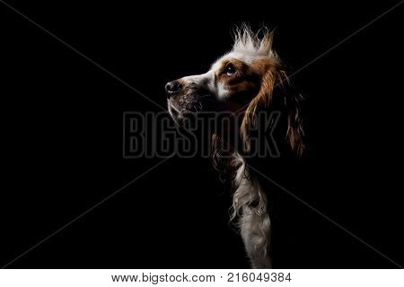 Spaniel dog portrait on a black background