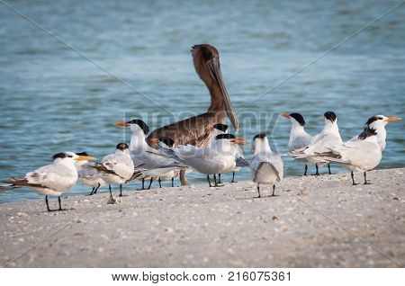 Brown pelican surrounded by small flock of Caspian terns