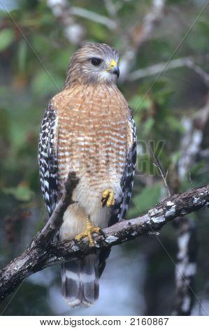 Redshouldered Hawk   195 J