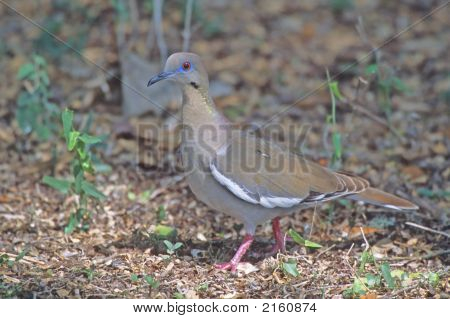 Whitewinged Dove   009 J