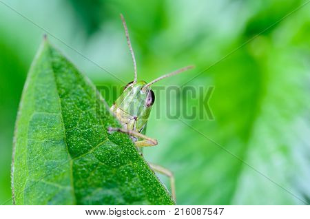 Portrait of a grasshopper that peeps out from behind a green leaf