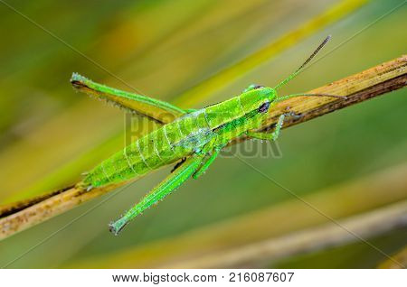 The nymph of a green grasshopper covered with drops of dew sits on a dry blade of grass
