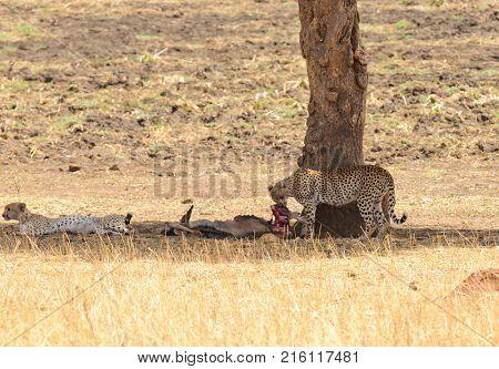 pair of Cheetah (scientific name: Acinonyx jubatus or