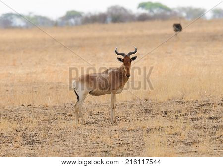 Closeup of Coke's Hartebeest (scientific name: Connochaetes taurinus or