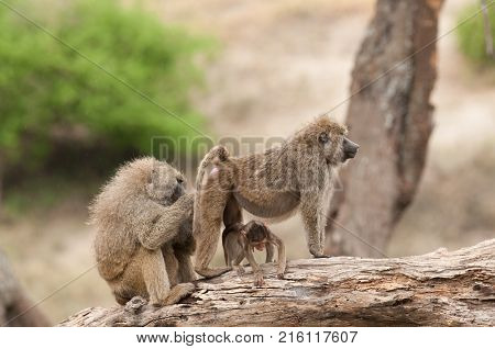 Closeup of Olive Baboons (scientific name: papio anubis, or Nyani in Swaheli) image taken on Safari located in the Tarangire National park in the East African country of Tanzania