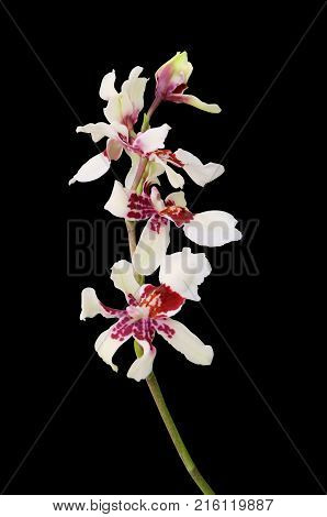 Orchid Cambria isolated on a black background.