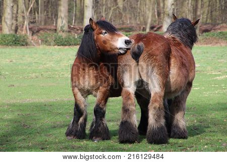 Two Belgium horses sniffling at each other
