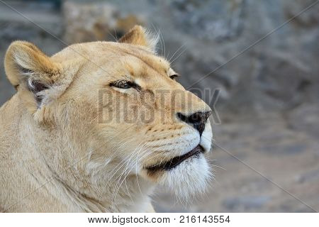 Young healthy lioness just woke up and looking straight portrait profile against blured gray background